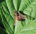 Rhingia campestris (female) - Saltoun wood, East Lothian, Scotland - 19 June 2014.jpg