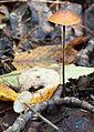 Rhizomarasmius pyrrhocephalus 271034.jpg