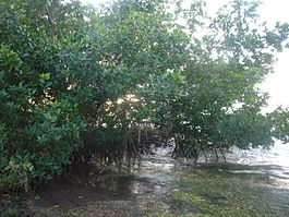 Rhizophora mangle Everglades.jpg