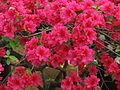 Rhododendron 'Euratom' 03.JPG