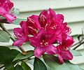 Rhododendron in Coventry, RI.jpg