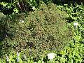 Rhododendron kiusianum - Botanischer Garten, Frankfurt am Main - DSC03187.JPG