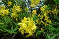 Rhododendron luteum - Sheffield Park and Garden - East Sussex, England - DSC05510.jpg