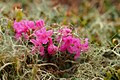 Rhododendron myrtifolium2.jpg
