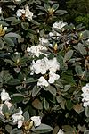 Rhododendron pachysanthum 2.JPG