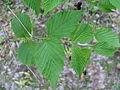 Rhodotypos scandens3.jpg