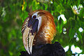 Rhyticeros plicatus -Glen Oak Zoo-8a.jpg