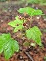 Ribes glandulosum kz01.jpg