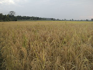 A paddy field in Assam Rice Field..JPG