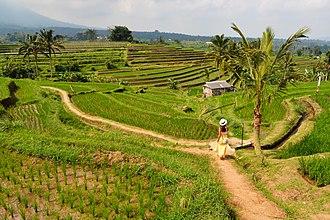 Tabanan Regency - Rice paddies at Jatiluwih
