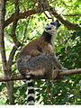 Ring-Tailed Lemur Calling, Anja Reserve (3953855032).jpg