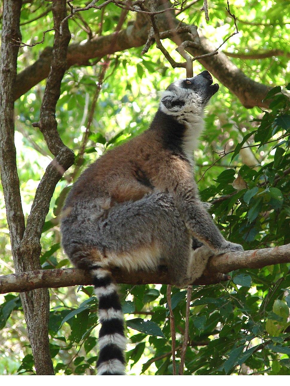 Ring-Tailed Lemur Calling, Anja Reserve (3953855032)