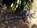 Ring-tailed Lemur Lemurs Park Antananarivo Madagascar - panoramio.jpg