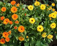 Ringelblume-orange-gelb.jpg