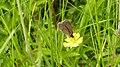 Ringlet (Aphantopus hyperantus) (9284978409).jpg