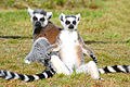 https://upload.wikimedia.org/wikipedia/commons/thumb/c/cf/Ringtailed_lemurs.jpg/120px-Ringtailed_lemurs.jpg