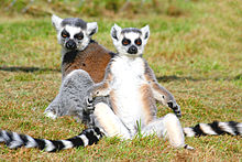 A group of three ring-tailed lemurs rest in the sun, with two sitting upright, facing the sun, with their arms to their sides.