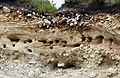 Riparia riparia Sandmartin nesting colony (38626519354).jpg