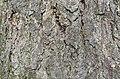 River Birch Betula nigra Horizontal.JPG