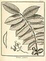 Robinia panacoco Aublet 1775 pl 307.jpg