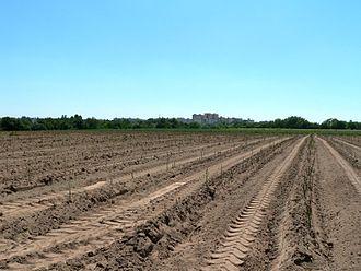 Rodgau - Asparagus field in Dudenhofen