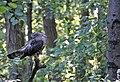 Roofvogel Havik.jpg
