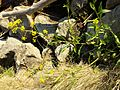 Rorippa amphibia sl7.jpg