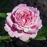 Rosa 'Rosengräfin Marie Henriette' (actm).jpg