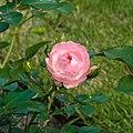 Rosa 'Sunblaze' (actm) 01.jpg