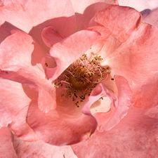 Rosa The Queen Elisabeth - Polyantha 01.jpg