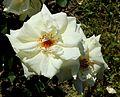 Rosa Troja Baden.jpg