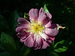 Rosa Veilchenblau 2019-06-13 1988.jpg