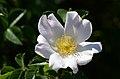 Rosa canina (7278077566).jpg
