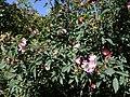 Rosa glauca plant (04).jpg