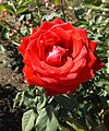 Rosa olympiad.jpg