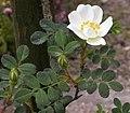 Rosa spinosissima inflorescence (79).jpg