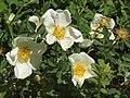 Rosa spinosissima inflorescence (93).jpg