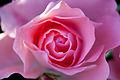 Rose, Jardins de France - Flickr - nekonomania (1).jpg