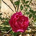 Rose Flower myshot.jpg