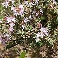Rosmarinus officinalis-Romarin-Feuilles-20160420.jpg