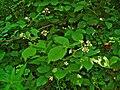 Rubus fruticosus 001.JPG
