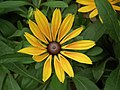 Rudbeckia from Lalbagh flower show Aug 2013 8275.JPG
