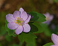 Rue-Anemone Thalictrum thalictroides Pink Form Flower 2300px.jpg