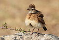 Rufous-naped Lark, Mirafra africana at Pilanesberg National Park, South Africa (10478681016).jpg