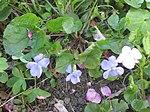 Ruhland, Grenzstr. 3, Hain-Veilchen im Garten, blühende Pflanze, Frühling, 05.jpg