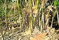 Rumpun pohon bambu (11).JPG