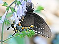 SWALLOWTAIL, SPICEBUSH (Papilio troilus) (3-16-13) marion co, fl -01 (9427286598).jpg