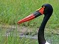 Saddle-billed Stork (Epphippiorhynchus senegalensis) female (6041612570).jpg