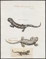Salamandra maculosa - 1700-1880 - Print - Iconographia Zoologica - Special Collections University of Amsterdam - UBA01 IZ11400089.tif
