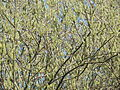 Salix caprea 004.jpg